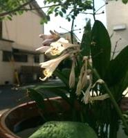 リズム鍼灸院に咲くギボウシの花