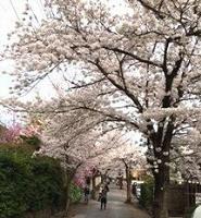 西向日の桜並木