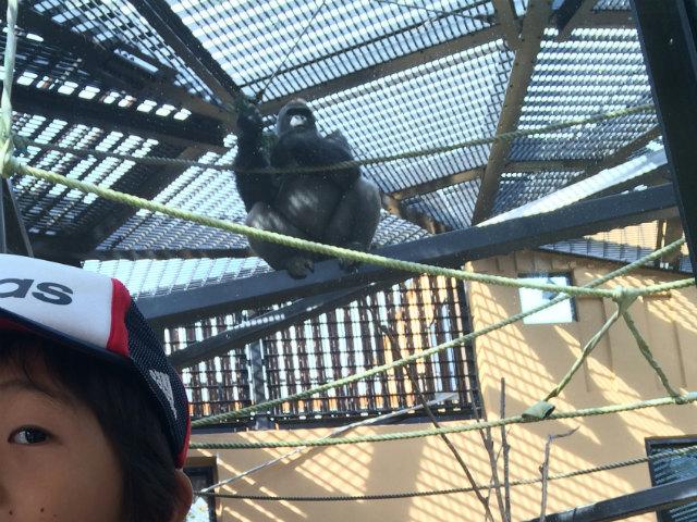 京都市動物園のゴリラ
