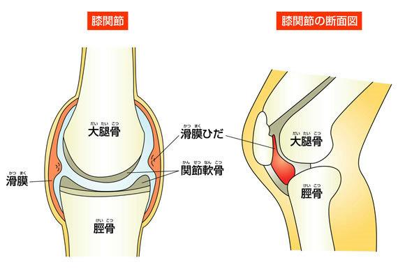 膝関節の解剖図