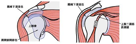 肩の解剖図