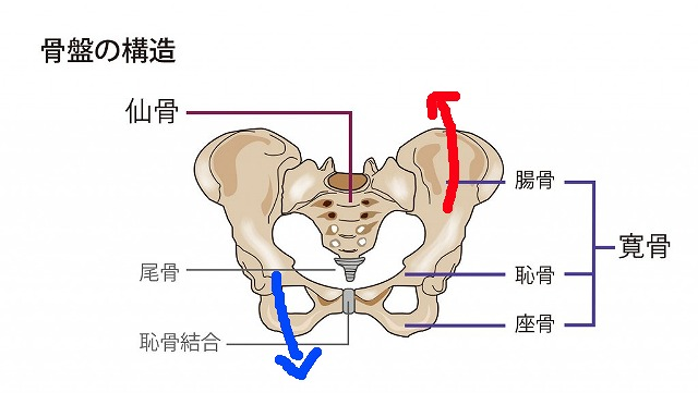 骨盤の構造