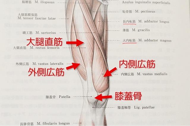 太もも(表)の解剖図