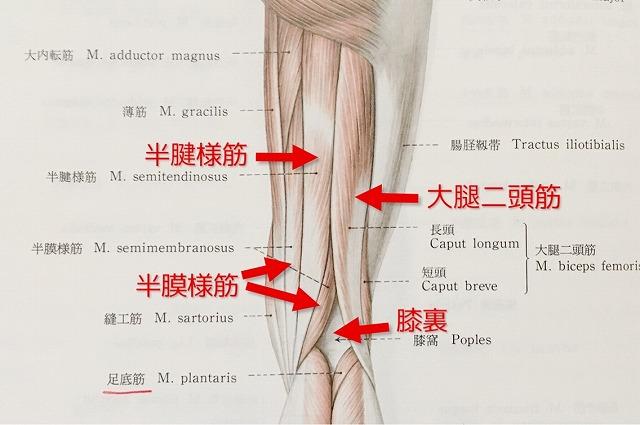 太もも(裏)の解剖図